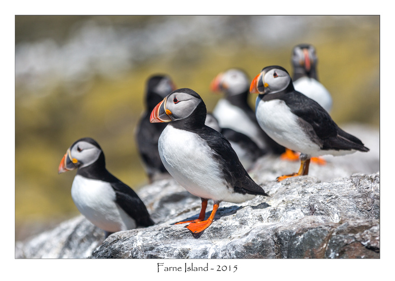 Puffins auf Farne Island